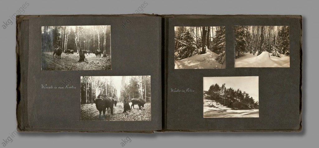 Bison in the forests near Bialowieza, 1916, ©akg-images